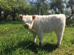 galloways-vom-pimpinellenberg_2016_19